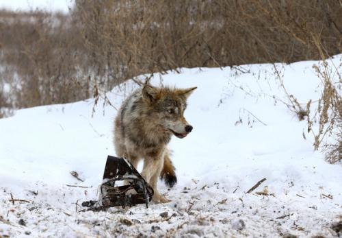 最后一只狼在华盛顿被 猎人击毙